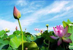 Lotus Flower In Vietnamese Culinary Culture